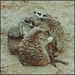 Meerkats hugging in the sand